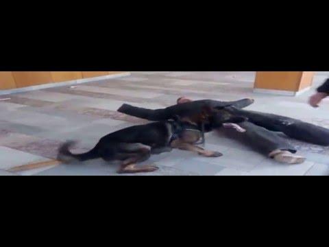 Lerry Di Dranel - working dog - german shepherd - one of ring protection training (видео)