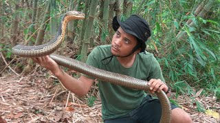 Video King cobra penunggu hutan bambu MP3, 3GP, MP4, WEBM, AVI, FLV Februari 2019