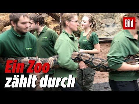 Dresden: Inventur im Dresdner Zoo - eine Python-Dame wird vermessen