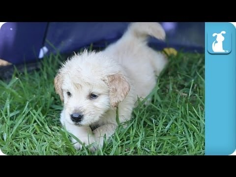 This is a Must See Video of 11 Golden Retriver Puppies in the Rain