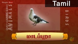 Birds - Pigeon - Pre School - Animated