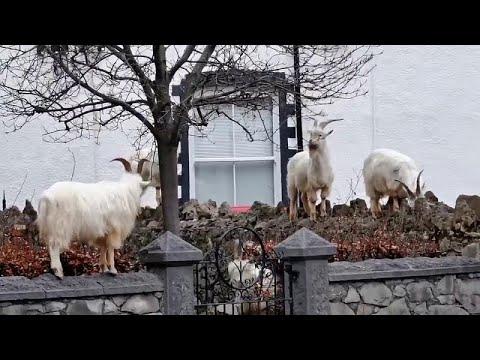 Κατσίκες «κατέλαβαν» πόλη στην Ουαλία