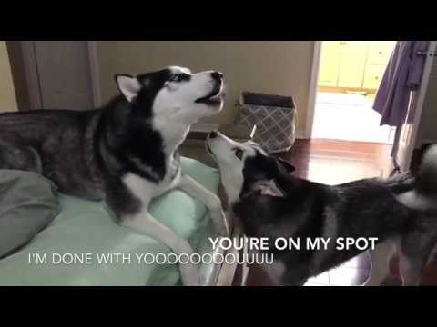 Hassut Huskyt kiistelevät – Kaito vs Koda
