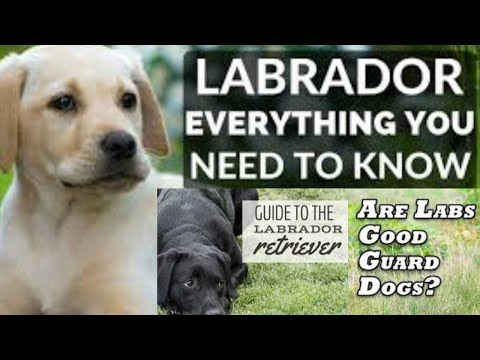 Can a Labrador Retrievers Dog's Be Trained as a Good Watchdog & Guard Dog?