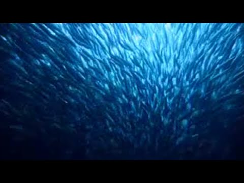 Epic journey of sardines - BBC wildlife