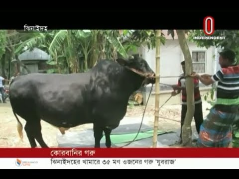 Jubaraj – 35 mounds sacrificial animal in Jhenidah (21-07-2019) Courtesy: Independent TV