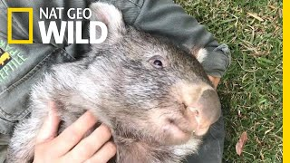 George the Wombat Begins New Life in the Wild | Nat Geo Wild by Nat Geo WILD