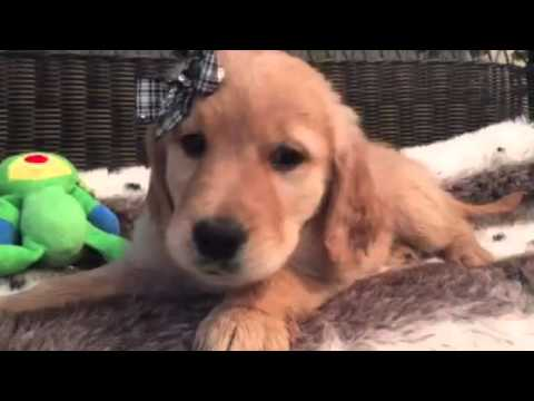 Picture Perfect *AKC* Female Golden Retriever
