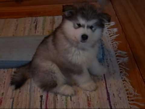 「[イヌ]モフモフ感あふれるキュートなアラスカン・マラミュートが飼い主さんの口笛とハモる」のイメージ
