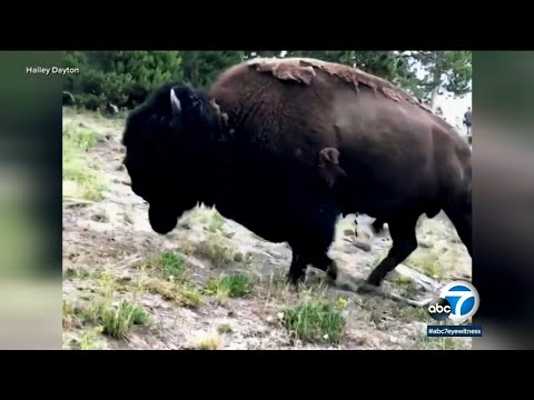 California woman gored by bison at Yellowstone | ABC7