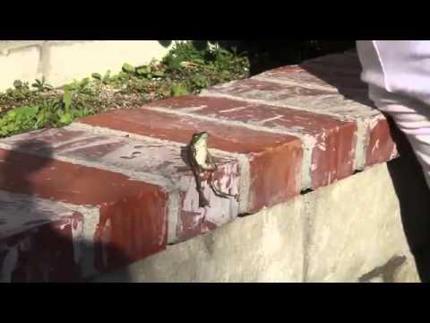 la rana che sta seduta come un umano!