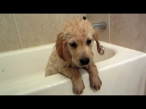 golden retriever puppy's first bath - this is cooper!