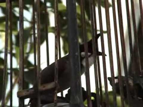 นกหัวจุก - สนใจสั่งซื้อ มิลินทรา พัทลุง โทร 074 611438.