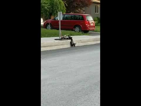 Mother Skunk Helps Babies Climb over Curb