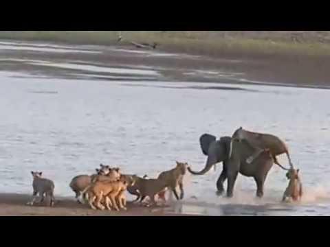 Молодой слон победил 14 голодных львиц