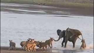 Молодой слон отбился от 14 львиц