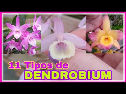 SÃO 11 TIPOS ❤️ DENDROBIUM NOBILE + STARDUST + PIERARDII ou APHYLLUM e MUITOS OUTROS