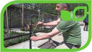 Ippenburger Gartentipps: Wie wird ein Schnurbaum erzogen?