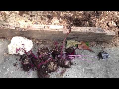 Ube seedlings