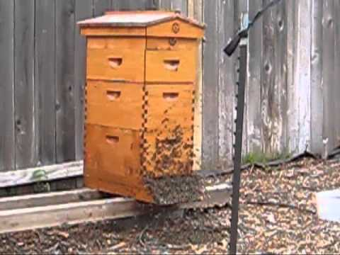 Beekeeping: New Honey Bee Queen Mating Flight Video
