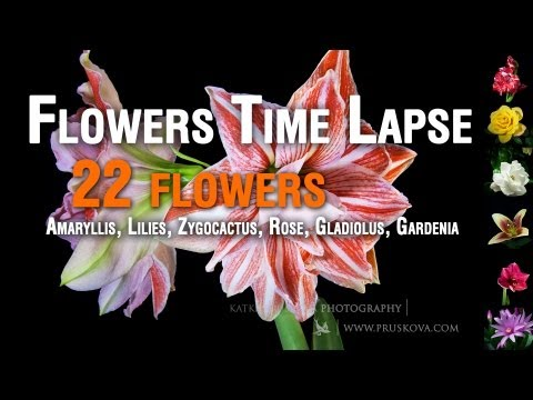 Flowers - watch in HD and sound on ** Flowers Timelapse compilation (Amaryllis, Lilies, Zygocactus, Rose, Gladiolus, Tulip, Gardenia) I took more than 7100 photos i...