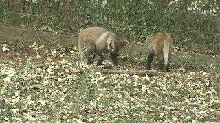 Pinguim e filhotes de lobo-guará são os novos moradores do zoológico de Bauru