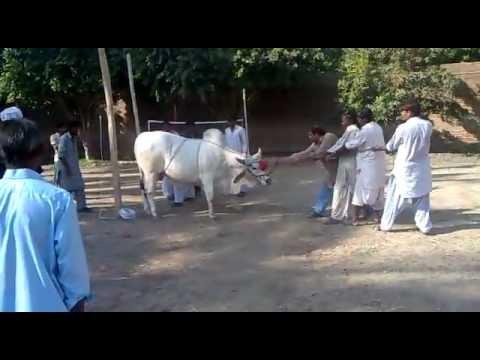 Eid ul azha qurbani -