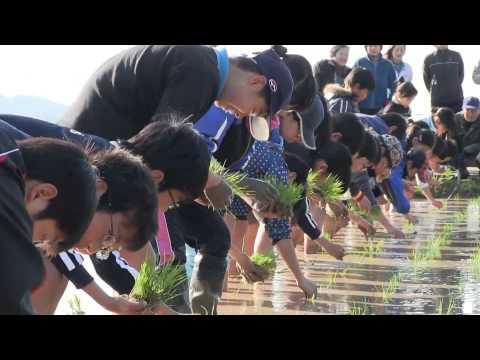 種子島の学校:茎南小学校もち米田植え体験活動