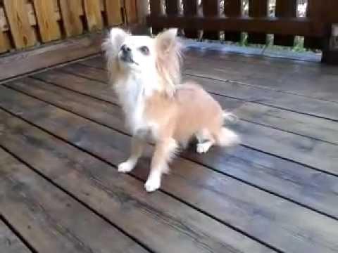 Chihuahua tricks