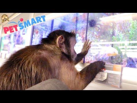 Monkey Goes Petsmart Shopping For His New Girlfriend!