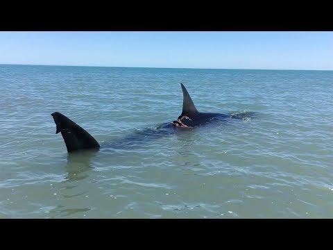 Paddling Next To Great White Shark