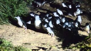 Oamaru New Zealand  city photos : Blue Penguin Oamaru NZ