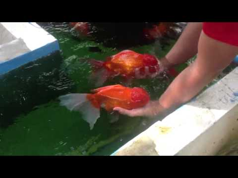 บ่อปลาฮอลันดายักษ์ครับ 2