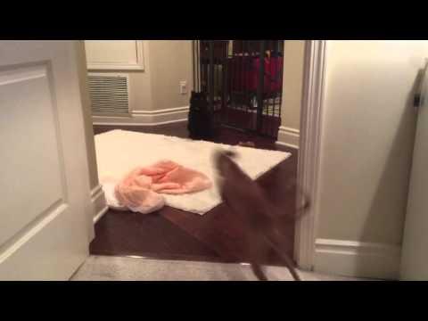 Todella energinen koira härnää kissaa – Katso riehakas video