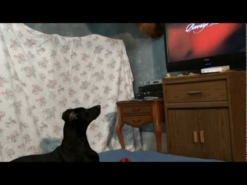 Funny Dog: Romo Watching Beverly Hills Chihuahua
