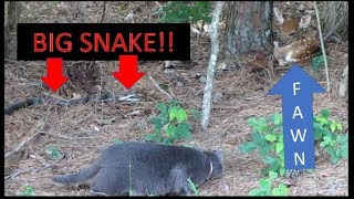 Download Video 6 FOOT SNAKE GOES AFTER FAWN & FARM CAT INTERVENES!!! 06-10-18 MP3 3GP MP4