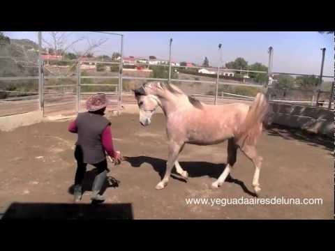 Comunicación con caballo árabe suelto: doma natural