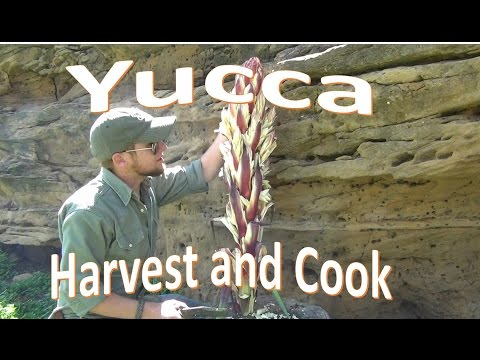 How To Harvest And Cook Yucca