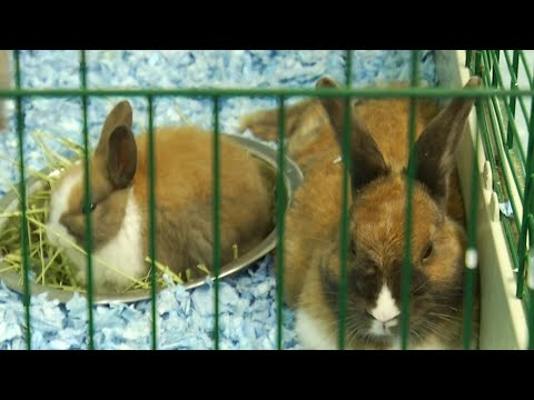 Angels of Assisi rescue 21 rabbits from Florida shelter