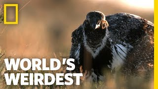 The Sage Grouse's Mating Strategy | World's Weirdest by Nat Geo WILD