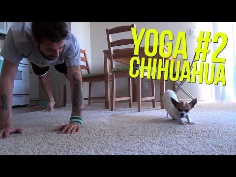 Pancho el perro que hace yoga