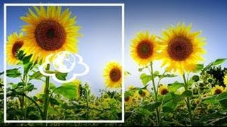Соняшник та калина - рослини