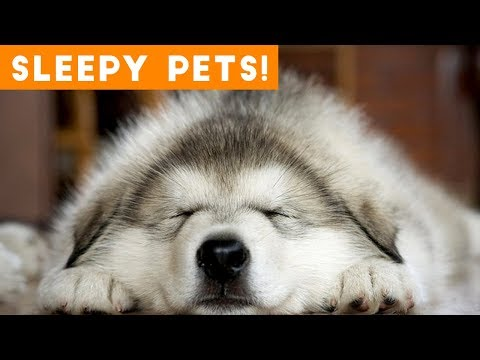 Funny animals - Cutest Sleepy Pet and Animal Videos of 2018  Funny Pet Videos