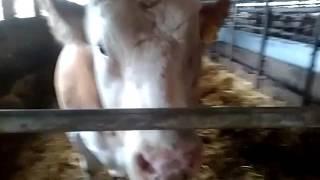 Video Naštvaný plemenný býk .... MP3, 3GP, MP4, WEBM, AVI, FLV Agustus 2017