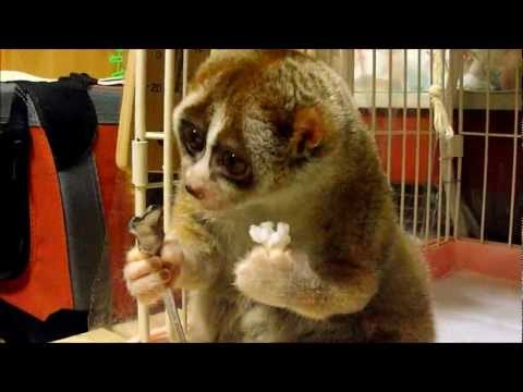ball - Slow Loris eating a Rice Ball Her name is Kinako. She has teeth and is domestically bred. Kinako was born in a Japanese pet shop.