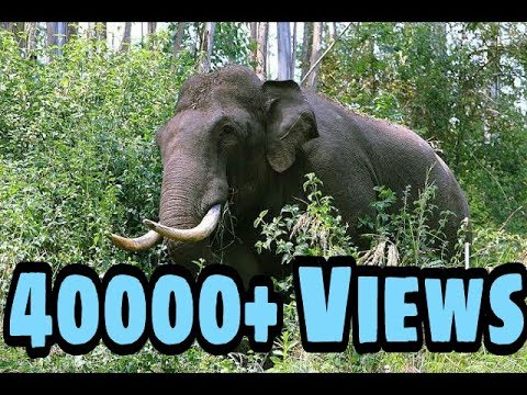 Video Wild elephant attack munnar live download in MP3, 3GP, MP4, WEBM, AVI, FLV January 2017