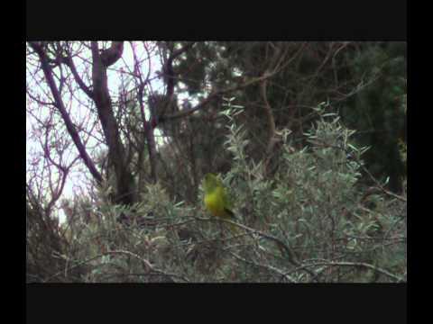 Elegant Parrot – Bird watching in Australia with Ej-Birdwatching