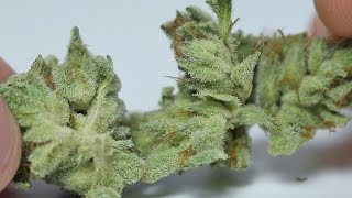 The Sauce - (Strain Review) by Strain Central