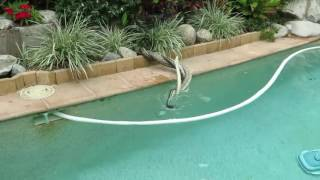 Noosa Australia  city images : Two Pythons fighting in a pool - Noosa Heads, Qld, Australia - 27 Sept 2016 - Part 1