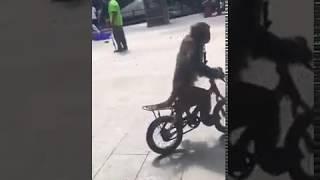 Kocak...Monyet naik sepeda nabrak pohon karena gagal fokus.